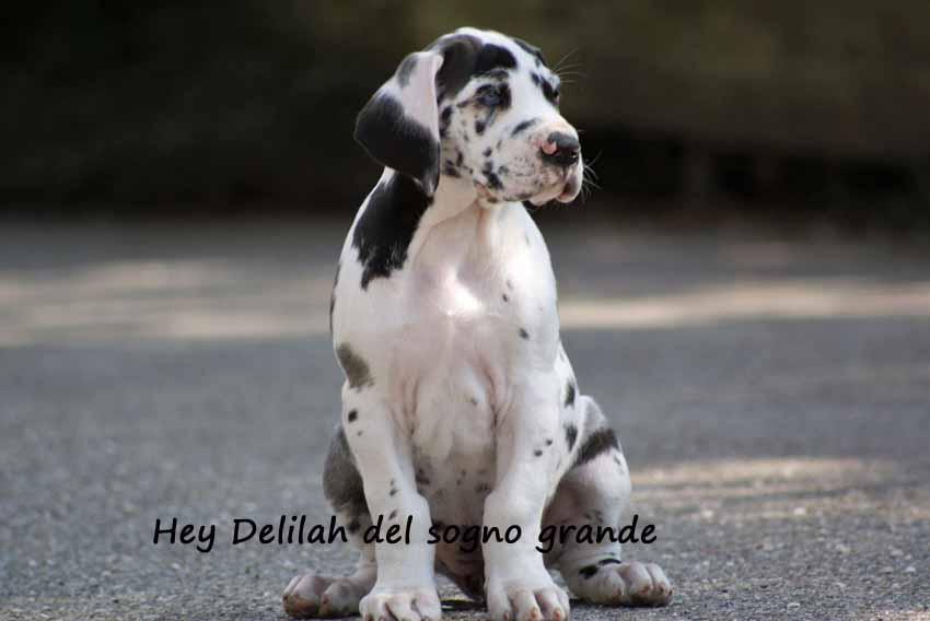 Hey Delilah del sogno grande